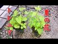 【Slow Life】夏の代表的な花 トレニア